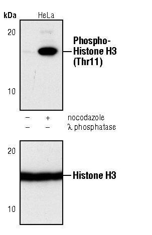 Phospho-Histone H3 (Thr11) Antibody (PA5-17360) in Western Blot