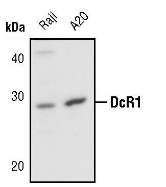 CD263 Antibody (PA5-17375)