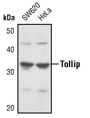 TOLLIP Antibody (PA5-17384) in Western Blot