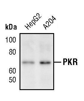 PKR Antibody (PA5-17395)