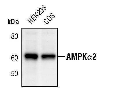 AMPK alpha-2 Antibody (PA5-17396) in Western Blot