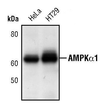 AMPK alpha-1 Antibody (PA5-17398)