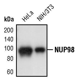 NUP98 Antibody (PA5-17406) in Western Blot
