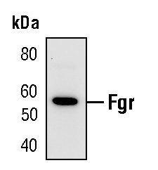 FGR Antibody (PA5-17413) in Western Blot