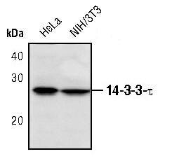 14-3-3 theta Antibody (PA5-17426) in Western Blot