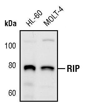 RIP1 Antibody (PA5-17435)