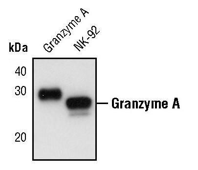 Granzyme A Antibody (PA5-17440)