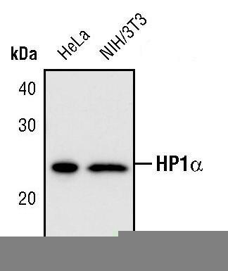 HP1 alpha Antibody (PA5-17441) in Western Blot