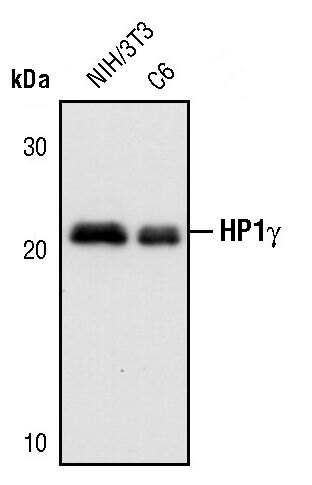 HP1 gamma Antibody (PA5-17445) in Western Blot