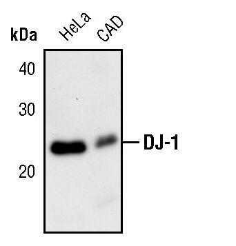 DJ-1 Antibody (PA5-17458)