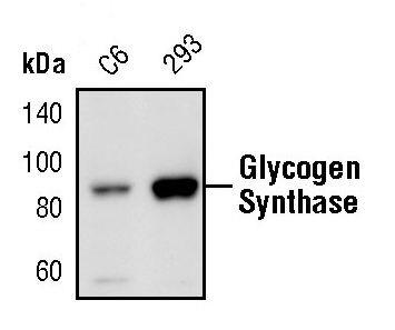 GYS1 Antibody (PA5-17459)