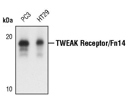 CD266 Antibody (PA5-17467)