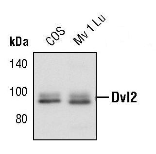 DVL2 Antibody (PA5-17471) in Western Blot