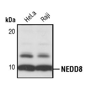 NEDD8 Antibody (PA5-17476) in Western Blot