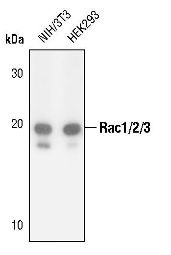 RAC1/RAC2/RAC3 Antibody (PA5-17519)