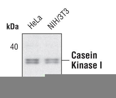 CK1 alpha Antibody (PA5-17536) in Western Blot
