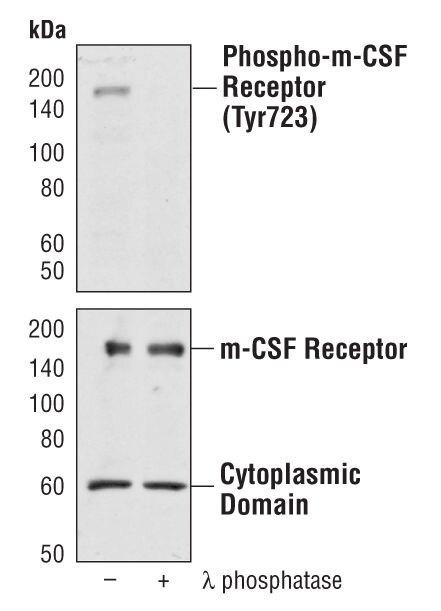 CSF1R Antibody (PA5-17538) in Western Blot