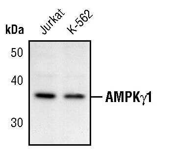 AMPK gamma-1 Antibody (PA5-17557)