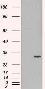 ORC6 Antibody (PA5-17948) in Western Blot