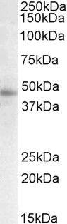 STAP2 Antibody (PA5-17952) in Western Blot
