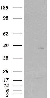 SKAP2 Antibody (PA5-18014) in Western Blot