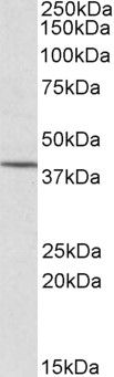 CYTIP Antibody (PA5-18019)