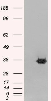 MORF4L2 Antibody (PA5-18035) in Western Blot