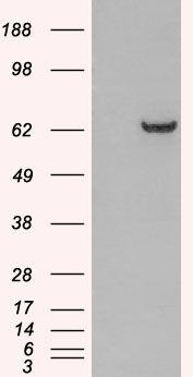 GRB7 Antibody (PA5-18038)