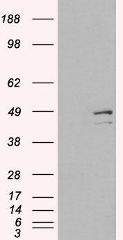 DAP3 Antibody (PA5-18042) in Western Blot