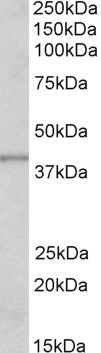 PAX8 Antibody (PA5-18069) in Western Blot