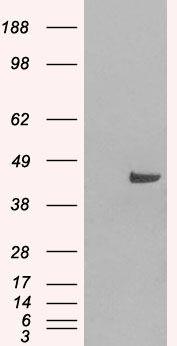 SNX16 Antibody (PA5-18150) in Western Blot