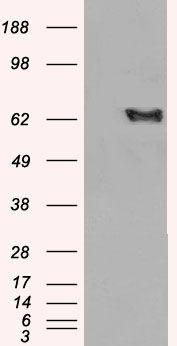 EHD2 Antibody (PA5-18303) in Western Blot