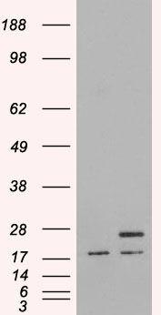 PGRMC1 Antibody (PA5-18496) in Western Blot