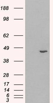HSD3B1 Antibody (PA5-18503) in Western Blot
