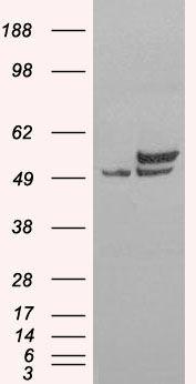 NONO Antibody (PA5-18514) in Western Blot