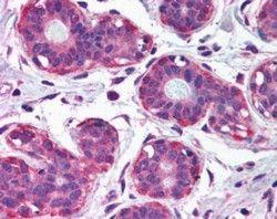 NET1 Antibody (PA5-18526)