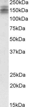 DSCAM Antibody (PA5-18559) in Western Blot