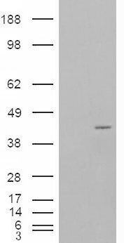 NCF4 Antibody (PA5-18751) in Western Blot