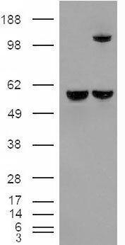 IDE Antibody (PA5-18753) in Western Blot