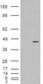 PCBP4 Antibody (PA5-18765) in Western Blot