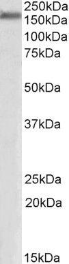 ZO-1 Antibody (PA5-19090) in Western Blot