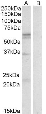 SLC7A5 Antibody (PA5-19101) in Western Blot