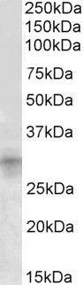 IGFBP7 Antibody (PA5-19121) in Western Blot