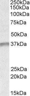 UTF1 Antibody (PA5-19122) in Western Blot