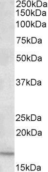 CXCL2 Antibody (PA5-19126) in Western Blot