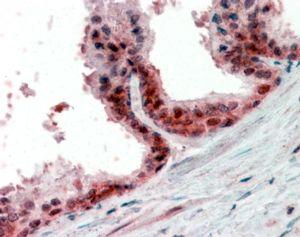 PPP4C Antibody (PA5-19132) in Immunohistochemistry