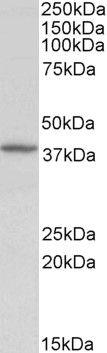 Decorin Antibody (PA5-19151)