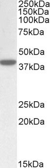 ERLIN1 Antibody (PA5-19152)