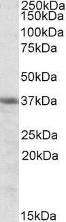 HMOX2 Antibody (PA5-19156) in Western Blot