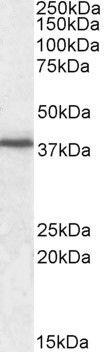 JAM1 Antibody (PA5-19159) in Western Blot